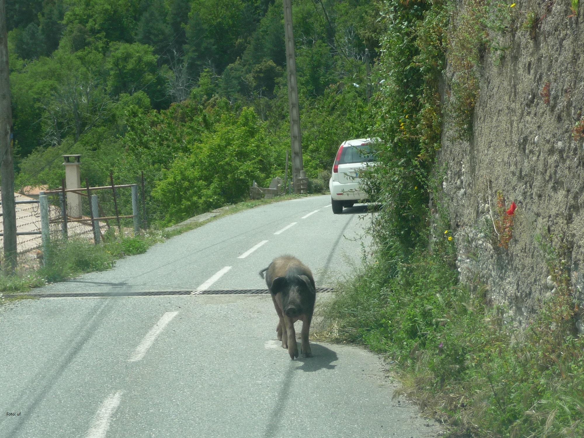 Wildschweine begegnen Ihnen des öfteren auf Korsika