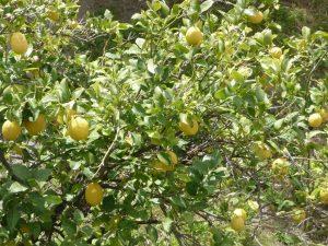 Zitronenbäume Cap Corse