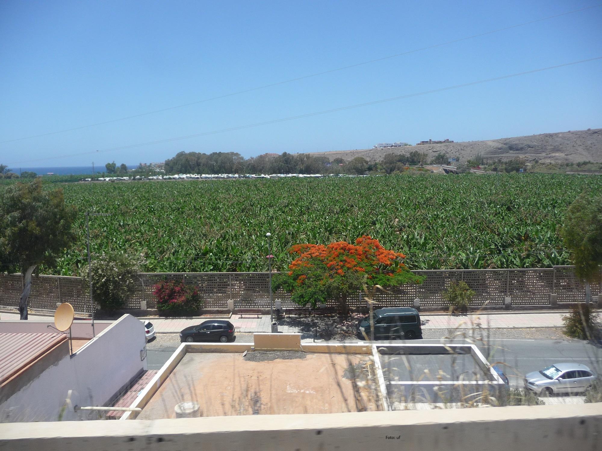 Auf Gran Canaria wird einiges angebaut: Avocados, Auberginen, Papayas, Mangos, Orangen, Zitronen... hier ein Blick auf eine Bananenplantage