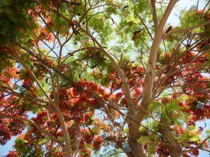Blick in einen Flamboyant Baum