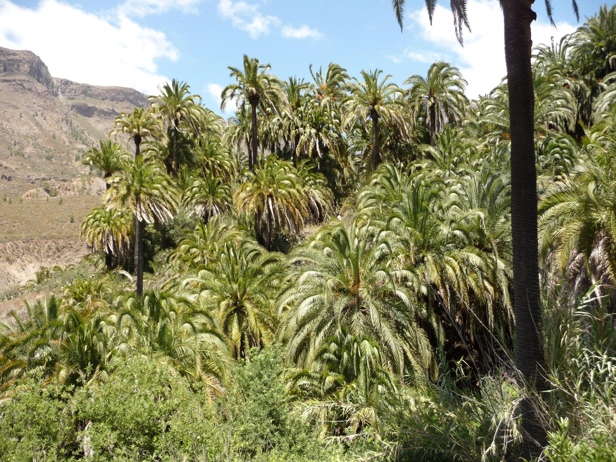 Palmenoase 2 km von Fataga entfernt