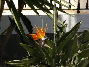 Strelitzie oder auch Paradiesvogelblume genannt